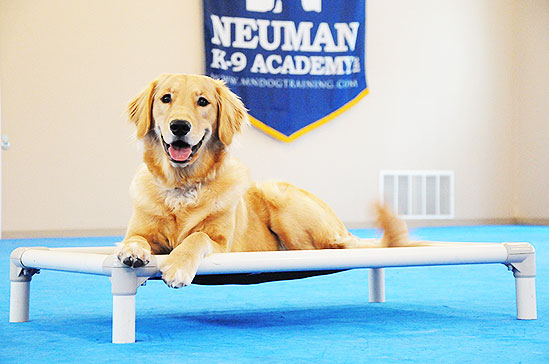 Dakota (Golden Retriever) - Boot Camp Dog Training