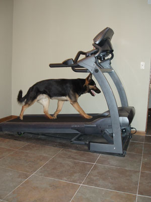 German Shepherd Manny - Running on the treadmill