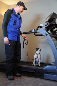 Canine Treadmill Training - Harry the Pug. Sit before released.