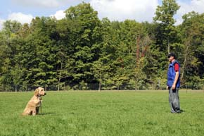 Dog obedience and training with a Labradoodle