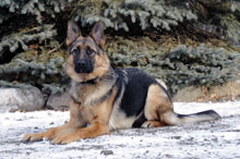 Bailey (German Shepherd) - Boot Camp Level I. Dog Training