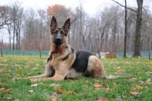 Baron (German Shepherd) Boot Camp Level II. Dog Training