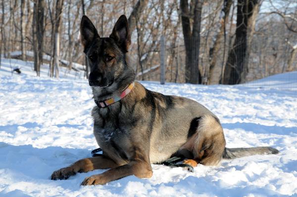 Bella (German Shepherd Dog) - Boot Camp Dog Training