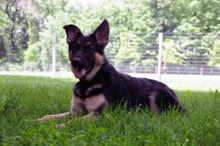 Bella (German Shepherd) - Boot Camp Dog Training