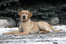 Belle (Labrador Retriever) - Basic Training Level II. Dog Training