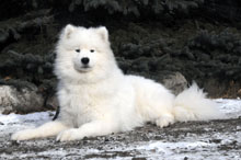 Blizzard (Samoyed) - Basic Training Level II. Dog Training
