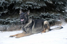 Boogaard (German Shepherd) - Boot Camp Level II. Dog Training