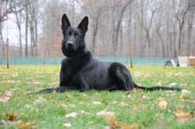 Ceaser (German Shepherd) Boot Camp Level II. Dog Training