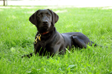 Cherry (Black Lab) - Boot Camp Dog Training