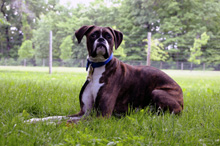 Clubber (Boxer) - Boot Camp Dog Training