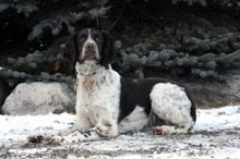 Cooper (Springer Spaniel) - Basic Training Level III. Dog Training