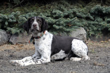 Cooper (German Shorthair Pointer) - Obedience Training