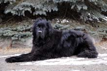 Dexter (Newfoundland) - Dog Obedience Training