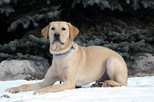 Elvis (Labrador Retriever) - Boot Camp Level II. Dog Training