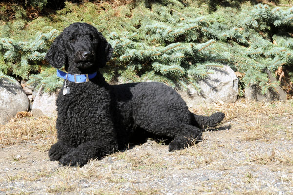Fizzy (Standard Poodle) - Boot Camp Dog Training
