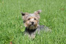 Frankie (Schnorkie) - dog boot camp dog training