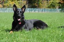Hera - German Shepherd Dog Training