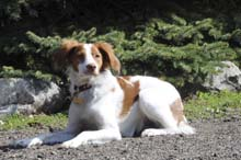 Hunter (Brittany Spaniel) - Boot Camp Level I. Dog Training