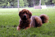 Iha (Tibetan Mastiff) - Boot Camp Dog Training