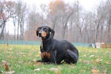 Jazzie (Doberman Pinscher) Obedience Level II. Dog Training