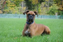 Kaiser - Boxer Boot Camp Level I Dog Training
