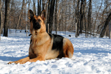 Katie - German Shepherd Boot Camp Dog Training