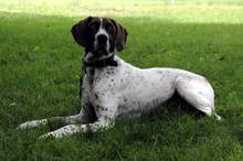 Katie (German Shorthair Pointer) - Obedience Training