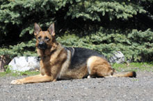 Kaylee (German Shepherd) - Boot Camp Level III. Dog Training