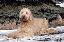 Knox (Goldendoodle) - Boot Camp Level II. Dog Training