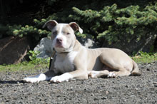Leo (Pitbull Terrier) - Puppy Boot Camp Dog Training