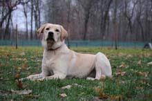 Lexi (Labrador Retriever) Obedience Level II. Dog Training