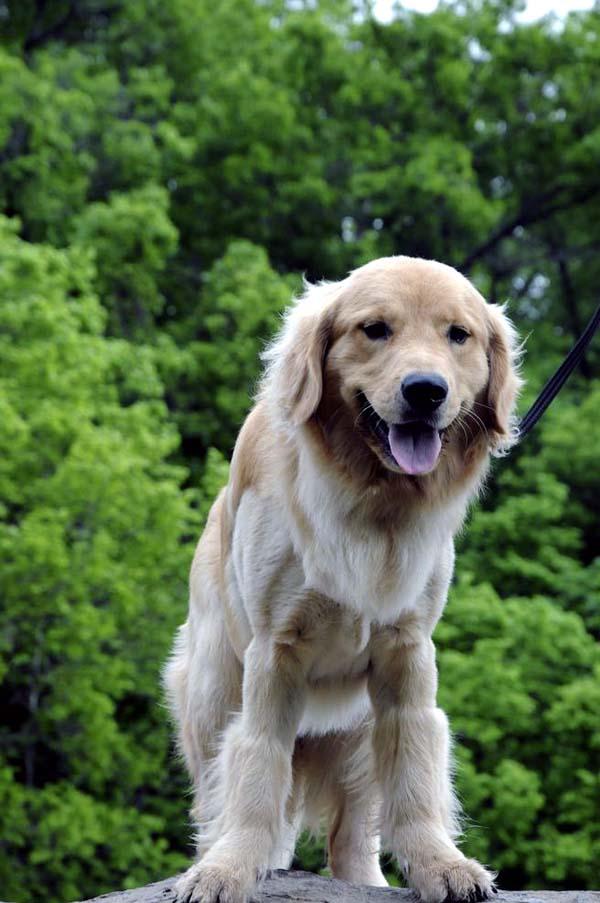 Lucky (Golden Retriever) - Boot Camp Dog Training