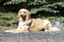Lyla (Golden Retriever) - Obedience Level II. Dog Training