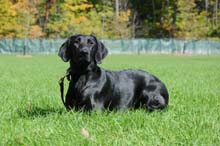 Mable - Boot Camp Level I Dog Training