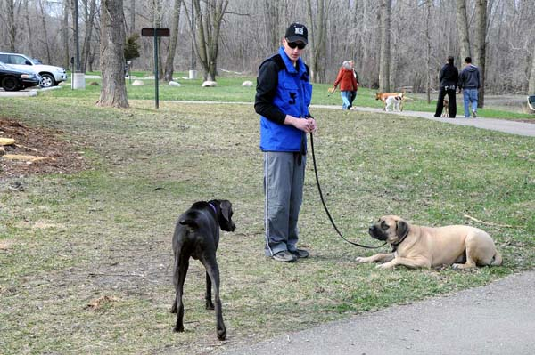 Mack (Mastiff) -  Boot Camp Dog Training
