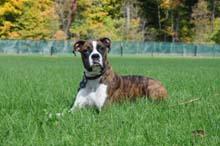 Mack - Boxer Obedience Level I Dog Training