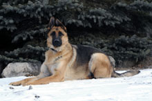 Maddox (German Shepherd) - Boot Camp Level III. Dog Training