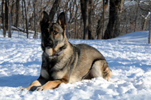 Major - German Shepherd Protection Dog Training