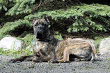 Meatball (Cane Corso) - Boot Camp Level II. Dog Training