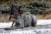 Mickey (German Shorthair Pointer) - Puppy Camp Dog Training