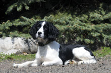 Milly (Springer Spaniel) - Boot Camp Level II. Dog Training