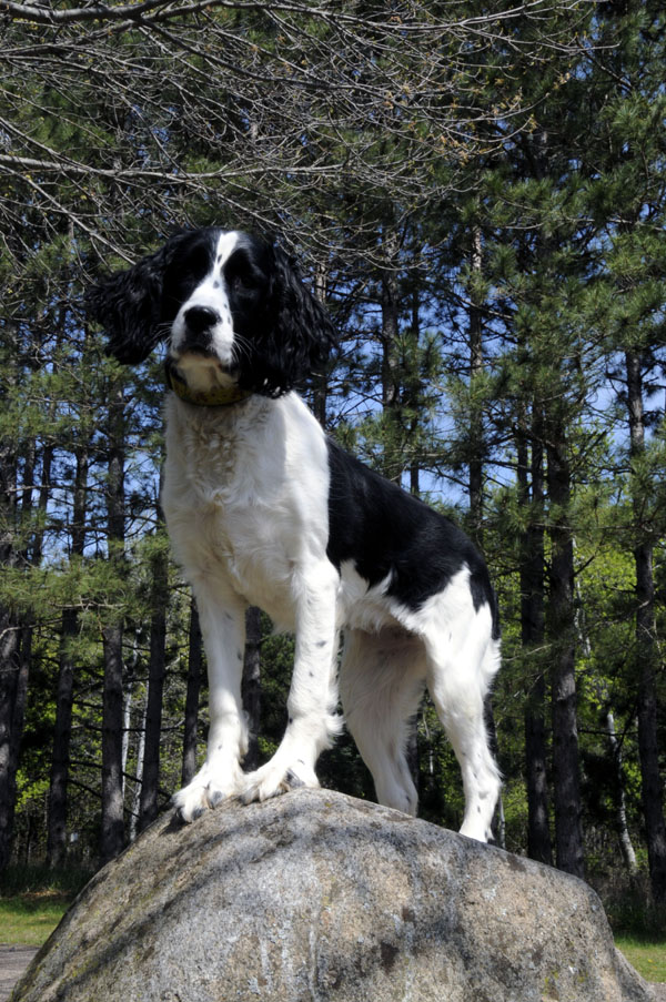 Milly (Springer Spaniel) - Boot Camp Dog Training