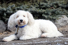 Nickey (Mini-Goldendoodle) - Boot Camp Level I. Dog Training