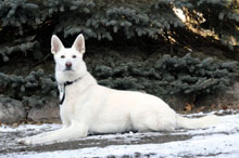 Nikki (White German Shepherd) - Boot Camp Dog Training