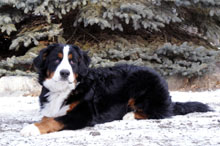 Odin (Bernese Mountain Dog) - Boot Camp Level I. Dog Training