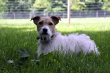 Ozzie (Jack Russell Terrier) - Boot Camp Dog Training