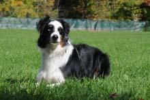 Ozzie - Australian Shepherd Boot Camp Level II Dog Training