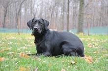 PJ (Labrador Retriever) Obedience Level II. Dog Training