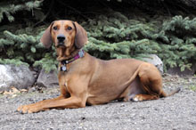 Red (Coonhound) - Boot Camp Level II. Dog Training