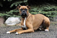 Roscoe (Boxer) - Boot Camp Level I. Dog Training